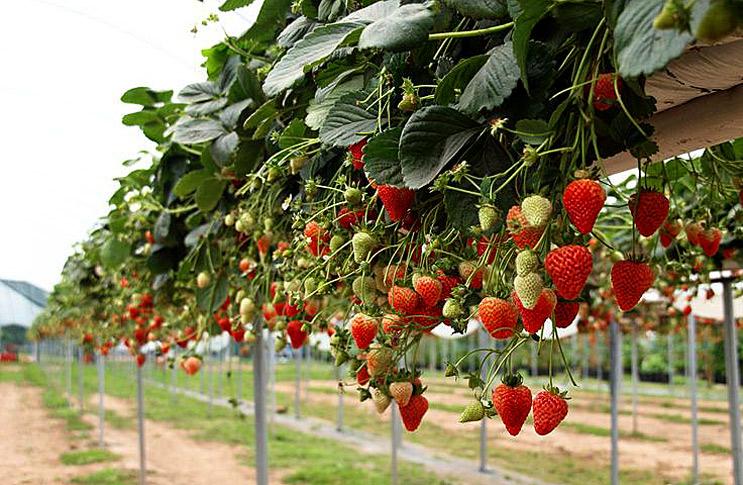 Выращиванье клубники в теплице 678
